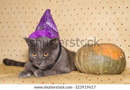 Studio portrait of halloween wizard cat with pumpkin. - stock photo