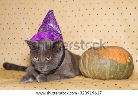 Studio portrait of halloween wizard cat with pumpkin. - stock photo