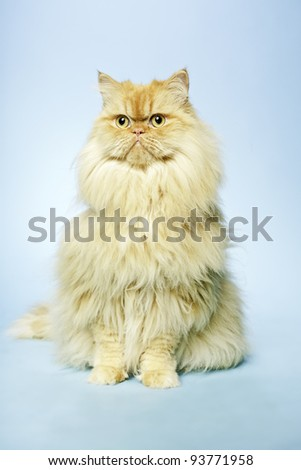 Studio portrait of red british long hair cat isolated on light blue background. - stock photo