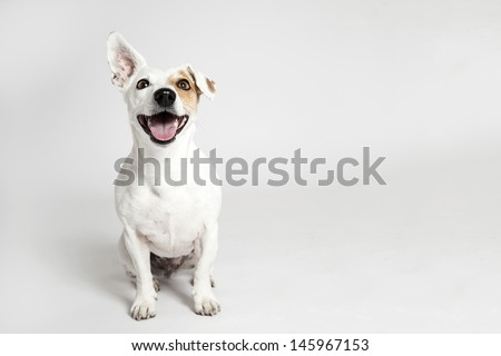 Studio portrait of the dog on the white background - stock photo