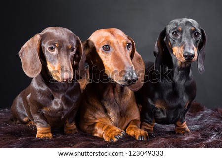 Studio portrait of three red, black and chocolate dachshund dogs on dark background - stock photo