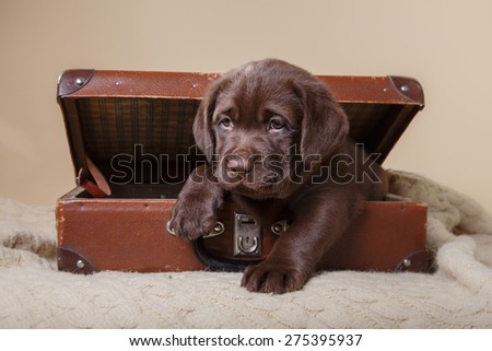 Studio portrait puppy brown labrador on a colored background - stock photo