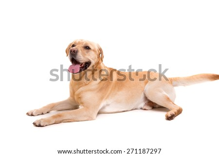 Studio shot of a young labrador, isolated over white - stock photo