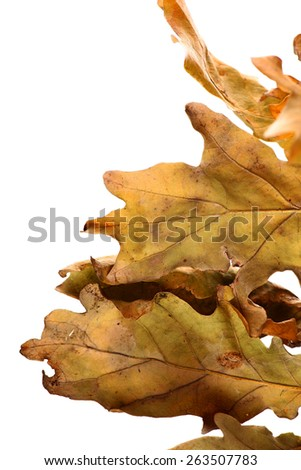 Studio shot of an acorn leaves, on white. - stock photo