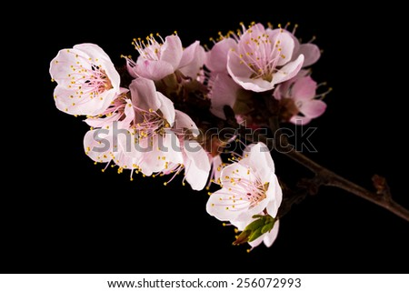 Studio shot of apricot blossom brunch - stock photo