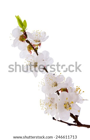 Studio shot of apricot blossom brunch isolated on white  - stock photo