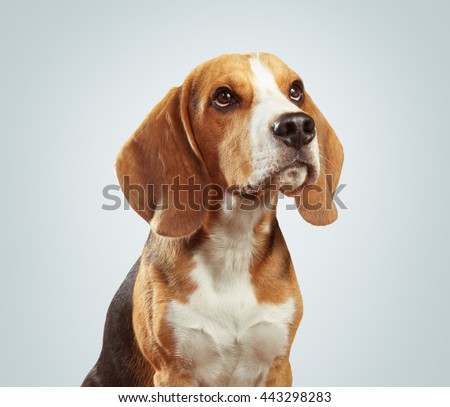 Studio shot of beagle dog over light gray background - stock photo