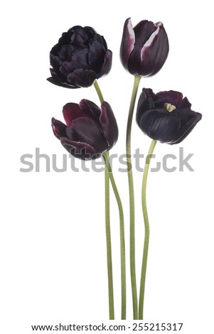 Studio Shot of Black Colored Tulip Flowers Isolated on White Background. Large Depth of Field (DOF). Macro. National Flower of The Netherlands, Turkey and Hungary. - stock photo