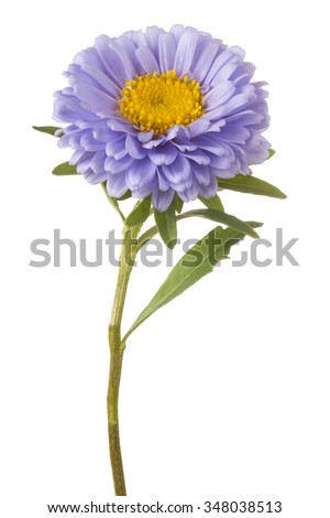 Studio Shot of  Blue Colored China Aster Flower Isolated on White Background. Large Depth of Field (DOF). Macro. - stock photo