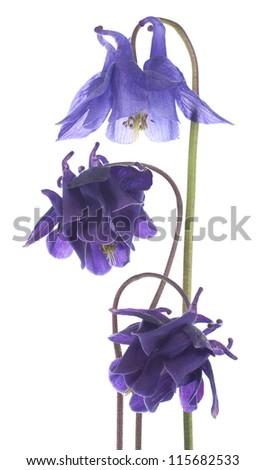 Studio Shot of  Blue Colored Columbine Flowers Isolated on White Background. Large Depth of Field (DOF). Macro. - stock photo