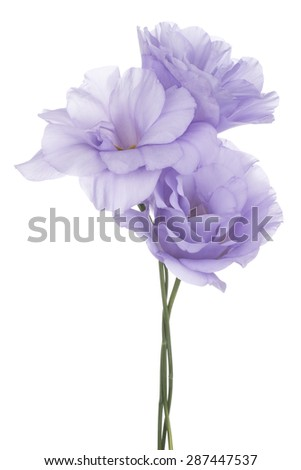 Studio Shot of Blue Colored Eustoma Flowers Isolated on White Background. Large Depth of Field (DOF). Macro. - stock photo