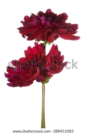Studio Shot of Burgundi-red Colored Dahlia Flowers Isolated on White Background. Large Depth of Field (DOF). Macro. - stock photo