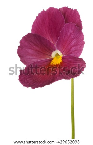 Studio Shot of Burgundy-red Colored Pansy Flower Isolated on White Background. Large Depth of Field (DOF). Macro. - stock photo