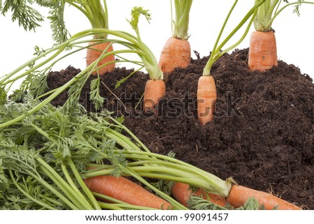 studio-shot of carrots growing in soil, isolated on a white background. - stock photo