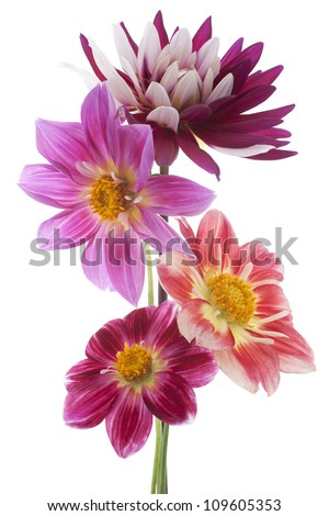 Studio Shot of Dahlia Flowers Isolated on White Background. Large Depth of Field (DOF). Macro. Symbol of Elegance, Dignity and Good Taste. - stock photo