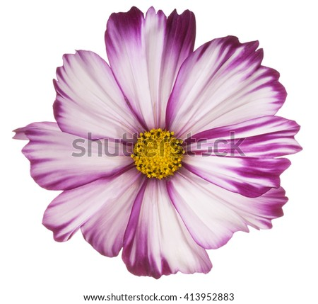Studio Shot of Fuchsia Colored Cosmos Flower Isolated on White Background. Large Depth of Field (DOF). Macro. - stock photo