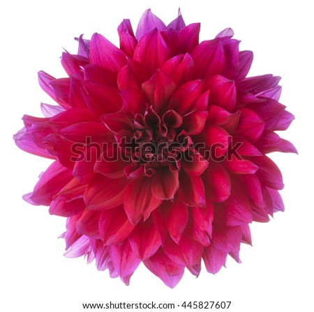 Studio Shot of Fuchsia Colored Dahlia Flower Isolated on White Background. Large Depth of Field (DOF). Macro. - stock photo