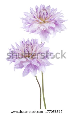 Studio Shot of Lilac Colored Dahlia Flowers Isolated on White Background. Large Depth of Field (DOF). Macro. Symbol of Elegance, Dignity and Good Taste. - stock photo