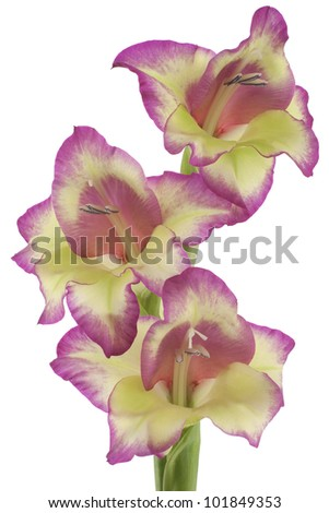 Studio Shot of Magenta and Yellow Colored Gladiolus Isolated on White Background. Large Depth of Field (DOF). Macro. Symbol of Reminisce, Love and Precision. - stock photo