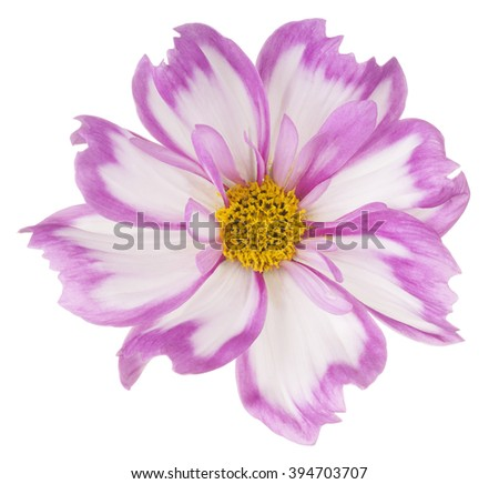 Studio Shot of Magenta Colored Cosmos Flower Isolated on White Background. Large Depth of Field (DOF). Macro. - stock photo