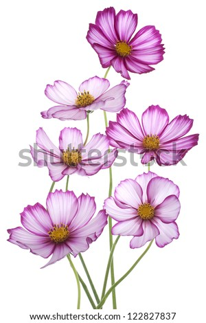 Studio Shot of Magenta Colored Cosmos Flowers Isolated on White Background. Large Depth of Field (DOF). Macro. - stock photo