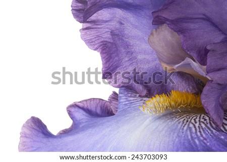 Studio Shot of Magenta Colored Iris Flower  Backgrounds. Macro. Emblem of France. - stock photo