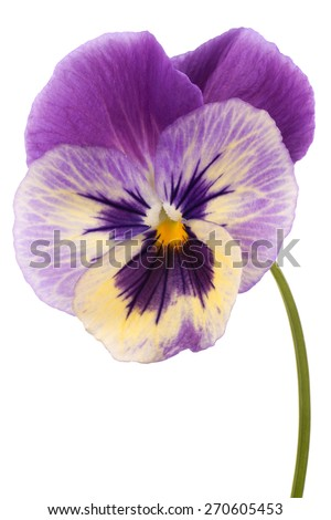 Studio Shot of Magenta Colored Pansy Flower Isolated on White Background. Large Depth of Field (DOF). Macro. Symbol of Fun and Reminiscence. - stock photo