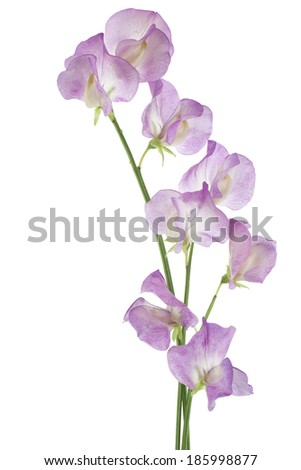 Studio Shot of Magenta Colored Sweet Pea Flowers Isolated on White Background. Large Depth of Field (DOF). Macro. - stock photo