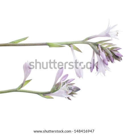 studio shot of mauve hosta isolated on white background - stock photo