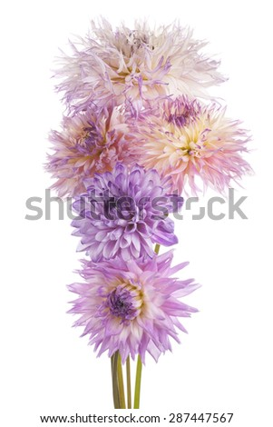 Studio Shot of Multicolored Dahlia Flowers Isolated on White Background. Large Depth of Field (DOF). Macro. Symbol of Elegance, Dignity and Good Taste. - stock photo