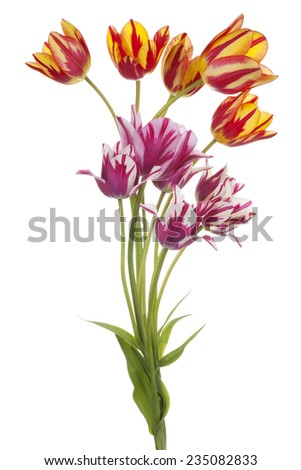 Studio Shot of  Multicolored Tulip Flowers Isolated on White Background. Large Depth of Field (DOF). Macro. National Flower of The Netherlands, Turkey and Hungary. - stock photo