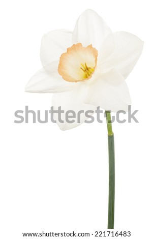 Studio Shot of Orange and White Colored Daffodil Flower Isolated on White Background. Large Depth of Field (DOF). Macro. Symbol of Self-love and Respect. - stock photo