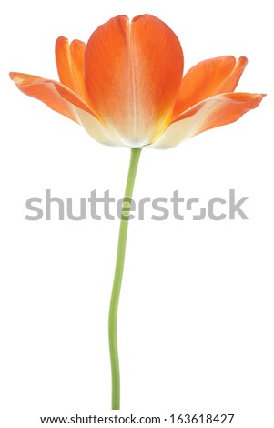 Studio Shot of Orange and Yellow Colored Tulip Flower Isolated on White Background. Large Depth of Field (DOF). Macro. National Flower of The Netherlands, Turkey and Hungary. - stock photo