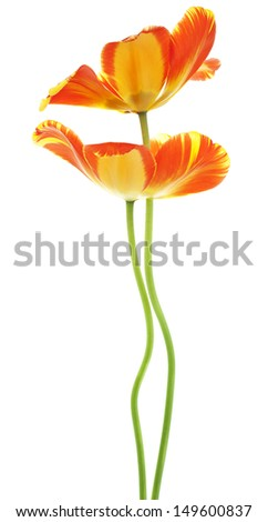 Studio Shot of Orange and Yellow Colored Tulip Flowers Isolated on White Background. Large Depth of Field (DOF). Macro. National Flower of The Netherlands, Turkey and Hungary. - stock photo
