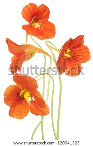 Studio Shot of Orange Colored Nasturtium Flowers Isolated on White Background. Large Depth of Field (DOF). Macro. Symbol of Patriotism and Conquest. - stock photo