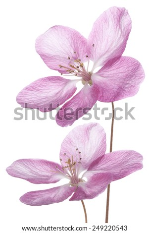 Studio Shot of Pink Colored Apple Blossom Isolated on White Background. Large Depth of Field (DOF). Macro. - stock photo