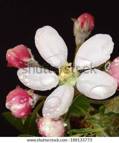 Studio shot of pink colored blossoming apple branch with water drops - stock photo