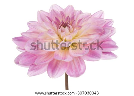 Studio Shot of Pink Colored Dahlia Flower Isolated on White Background. Large Depth of Field (DOF). Macro. Symbol of Elegance, Dignity and Good Taste. - stock photo