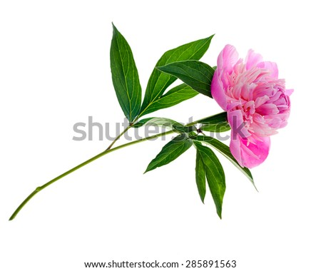 Studio shot of pink colored peony isolated on white background. Side view. - stock photo