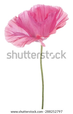 Studio Shot of Pink Colored Poppy Flower Isolated on White Background. Large Depth of Field (DOF). Macro. Symbol of Sleep, Oblivion and Imagination. - stock photo