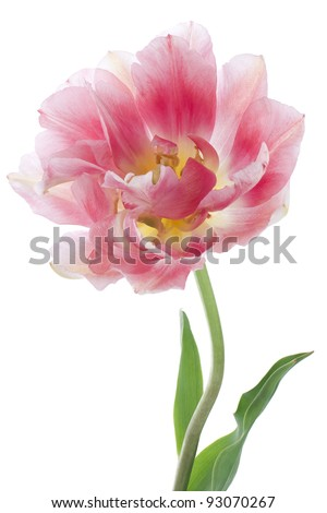 Studio Shot of Pink Colored Tulip Isolated on White Background. Large Depth of Field (DOF). Macro. National Flower of The Netherlands, Turkey and Hungary. - stock photo