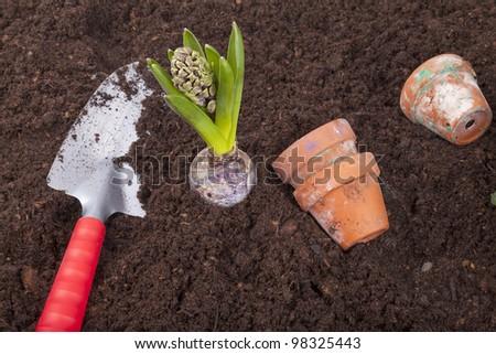 studio-shot of planting a hyacinth flower bulb in flower soil with garden shovel - stock photo