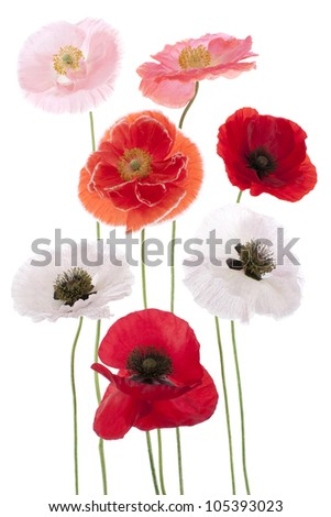 Studio Shot of Poppy Flowers Isolated on White Background. Large Depth of Field (DOF). Macro. Symbol of Sleep, Oblivion and Imagination. - stock photo