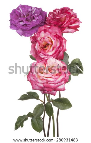 Studio Shot of Purple and Pink Colored Rose Flowers Isolated on White Background. Large Depth of Field (DOF). Macro. - stock photo