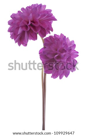 Studio Shot of Purple Colored Dahlia Flowers Isolated on White Background. Large Depth of Field (DOF). Macro. Symbol of Elegance, Dignity and Good Taste. - stock photo