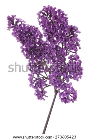 Studio Shot of Purple Colored Lilac Flowers Isolated on White Background. Large Depth of Field (DOF). Macro. - stock photo