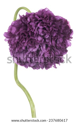 Studio Shot of Purple Colored Poppy Flower Isolated on White Background. Large Depth of Field (DOF). Macro. Symbol of Sleep, Oblivion and Imagination. - stock photo