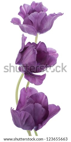 Studio Shot of Purple Colored Tulip Flowers Isolated on White Background. Large Depth of Field (DOF). Macro. National Flower of The Netherlands, Turkey and Hungary. - stock photo