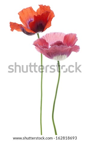 Studio Shot of Red Colored Poppy Flowers Isolated on White Background. Large Depth of Field (DOF). Macro. Symbol of Sleep, Oblivion and Imagination. - stock photo