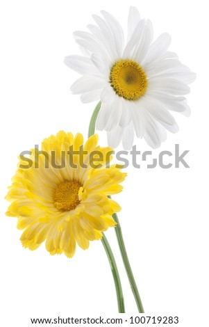 Studio Shot of White and Yellow Colored Daisy Flowers Isolated on White Background. Large Depth of Field (DOF). Macro. - stock photo